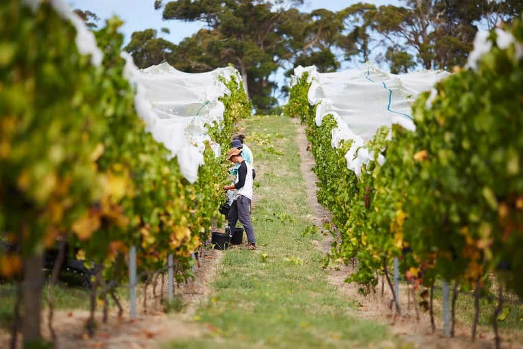grape picking at moores hill winery